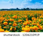 a beautiful marigolds in the... | Shutterstock . vector #1206210919