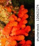Small photo of Red Sea Fingers (Alcyonium glomeratum)