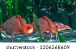 two flamingos take a nap. these ... | Shutterstock . vector #1206268609