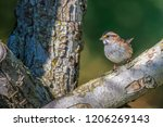songbird in nature | Shutterstock . vector #1206269143