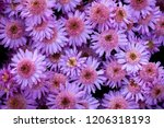 pink and lilac chrysanthemum... | Shutterstock . vector #1206318193