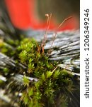 red spores of green moss on...   Shutterstock . vector #1206349246