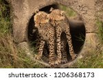 cheetah cubs in pipe nuzzling... | Shutterstock . vector #1206368173