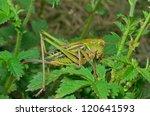 A Close Up Of The Grasshopper...