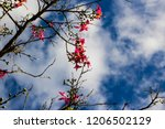 pretty silk floss tree  ceiba... | Shutterstock . vector #1206502129