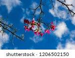 pretty silk floss tree  ceiba... | Shutterstock . vector #1206502150