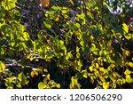 green foliage of betula pendula ... | Shutterstock . vector #1206506290