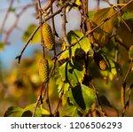 green foliage of betula pendula ... | Shutterstock . vector #1206506293