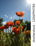 poppies standing in a field  | Shutterstock . vector #1206994783