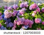 colorful hydrangea flowers   Shutterstock . vector #1207003033