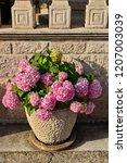 pink hydrangea in the pot   Shutterstock . vector #1207003039
