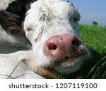 sleeping baby cow  sweet calf... | Shutterstock . vector #1207119100