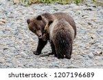 grizzly bear  ursus artos... | Shutterstock . vector #1207196689