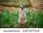 meerkat is looking around  in... | Shutterstock . vector #1207297519