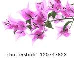 Bougainvillea  Paper Flower ...
