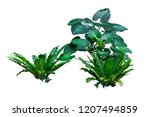 tropical plant isolated on...   Shutterstock . vector #1207494859