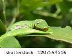 Tropical Green Caterpillar