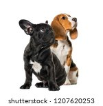 Stock photo young beagle sitting with black french bulldog puppy looking up in front of white background 1207620253
