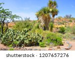 Yucca Brevifolia Is A Plant. I...