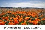poppy field in bloom | Shutterstock . vector #1207762540