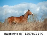 palomino horse in the field... | Shutterstock . vector #1207811140