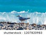 seagull standing on the stony... | Shutterstock . vector #1207820983