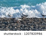 seagulls standing on the stony... | Shutterstock . vector #1207820986