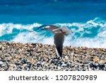 flying seagull over the stony... | Shutterstock . vector #1207820989