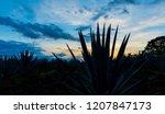 sunset landscape of a tequila...   Shutterstock . vector #1207847173