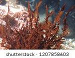 phycoerythrin red algae ...   Shutterstock . vector #1207858603