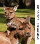 Stock photo baby kangaroo joey playing with its mother 120790186