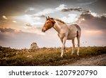 wild horse at sunset   Shutterstock . vector #1207920790