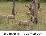 Three Bucks   Yellowstone