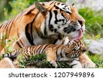 Tiger Licks Tiger Cub