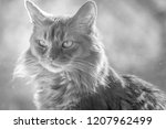 a portrait of a pure bred... | Shutterstock . vector #1207962499