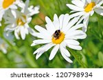 Bumblebee On A Daisy Flower In...