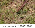 thailand skink or east indian... | Shutterstock . vector #1208012206