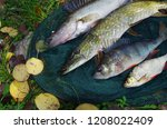 river pike perch  pike  perch ... | Shutterstock . vector #1208022409