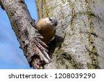 eurasian nuthatch sitting on a... | Shutterstock . vector #1208039290