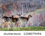 Stock photo group of red deer in autumnal meadow red deer in nature during late autumn wildlife wit deer in 1208079496