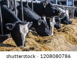 breed of hornless dairy cows... | Shutterstock . vector #1208080786