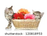 Stock photo kittens in a basket with flowers isolated on white background 120818953