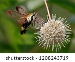 Snowberry Clearwing Moth ...