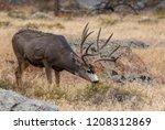 A Mule Deer Buck In The...