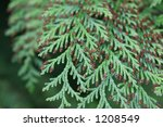 Cedar Tree Branches - stock photo