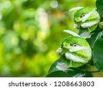 Passiflora Edulis Flavicarpa...