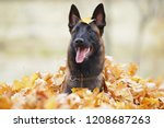 young happy belgian shepherd... | Shutterstock . vector #1208687263