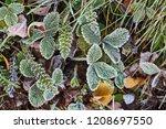 morning frost on green plants | Shutterstock . vector #1208697550