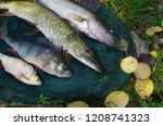 river pike perch  pike  perch ... | Shutterstock . vector #1208741323
