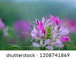 pink flower  of the sky | Shutterstock . vector #1208741869